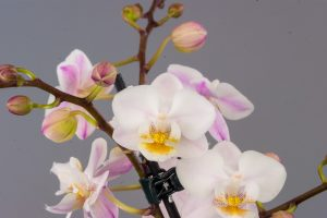New Life scented moth orchid