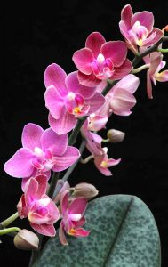 Diffusion scented moth orchid