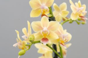 Sunny Smell fragrant moth orchid grown by Double H